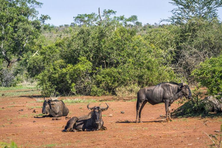 Wildebeests on land