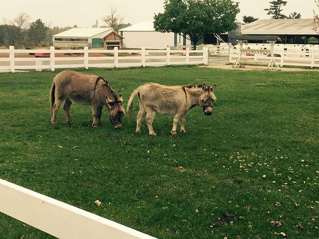 Donkey Grass Animals Massachusetts Farm
