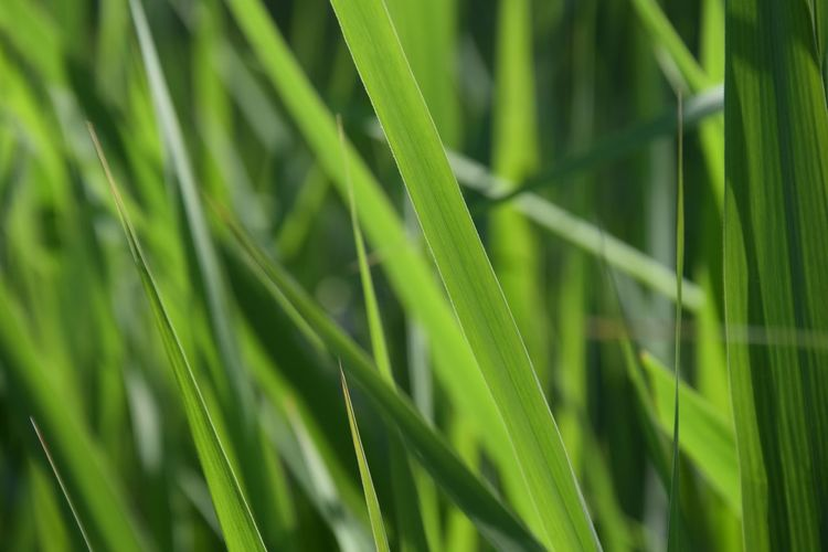 Sun Spring Phragmites Australis Phragmites Poaceae Plant Green Green Color Growth Green Color Plant Beauty In Nature Nature Leaf Plant Part Close-up No People Blade Of Grass Wet Tranquility Freshness Focus On Foreground Selective Focus Grass Outdoors