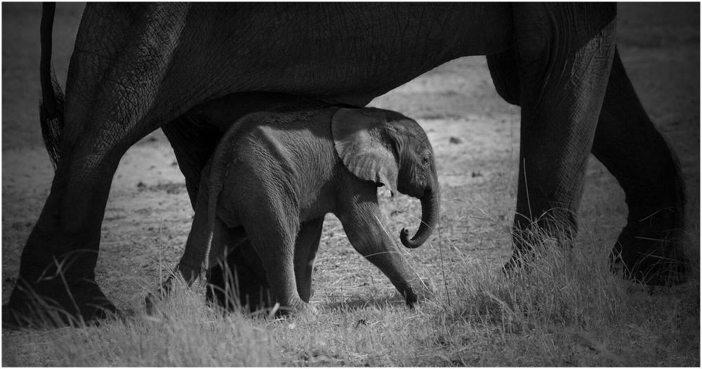 Low section of african elephant with calf walking on grassy field