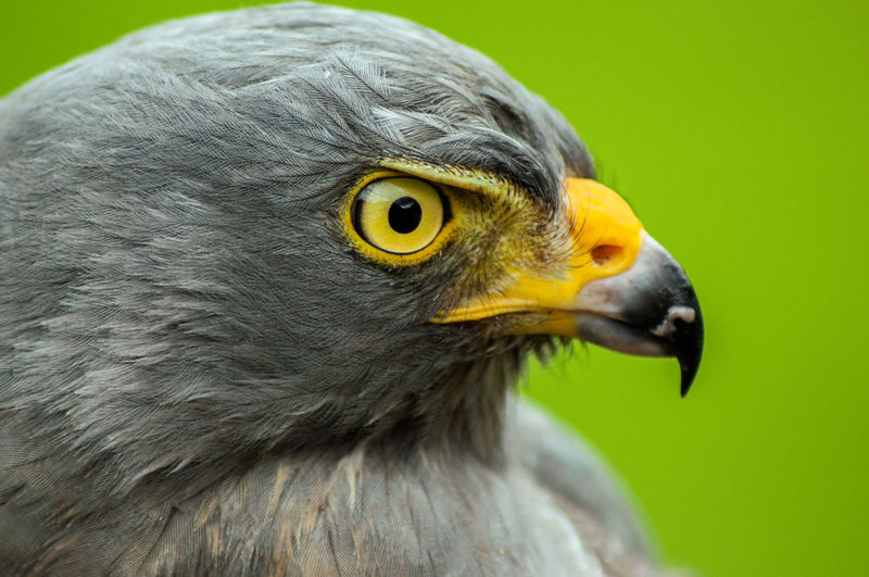 Side view of hawk