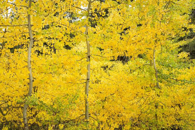 Autumn colors, Aspens Yellow Autumn Plant Tree Beauty In Nature No People Nature Forest Backgrounds Leaf Outdoors Scenics - Nature Fall Aspen Trees Sierra Horizontal Composition Colorful Nature California