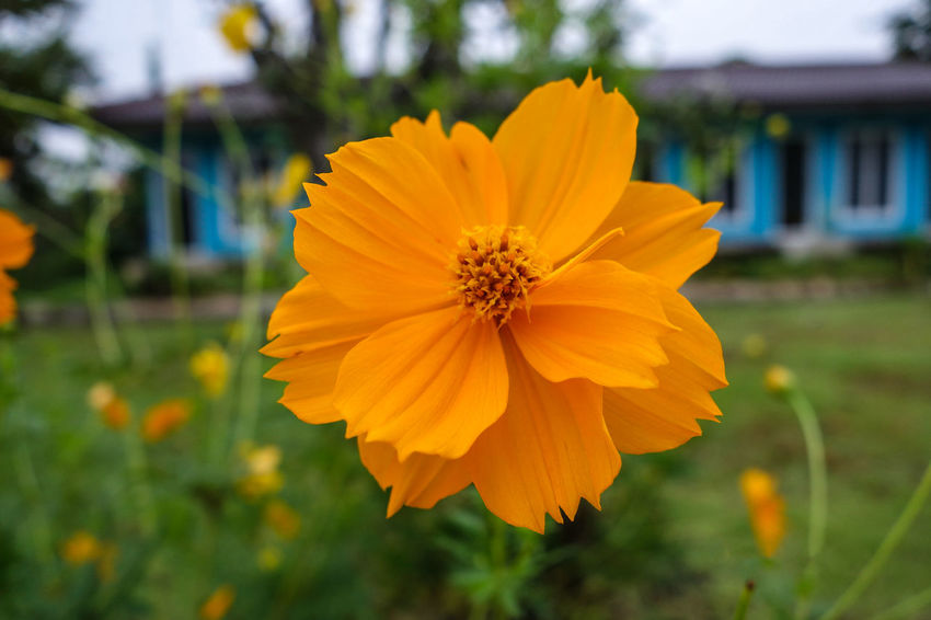 Beauty In Nature Black-eyed Susan Blooming Close-up Cosmos Flower Day Flower Flower Head Focus On Foreground Fragility Freshness Growth Nature No People Outdoors Petal Plant Yellow