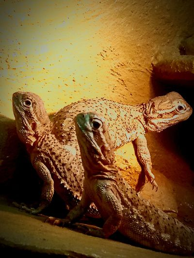 Bearded Dragons Family Mother And Children Beautiful Reptile EyeEmNewHere Eye Em Eye Reptile Animals In The Wild One Animal Animal Themes Animal Wildlife Lizard No People