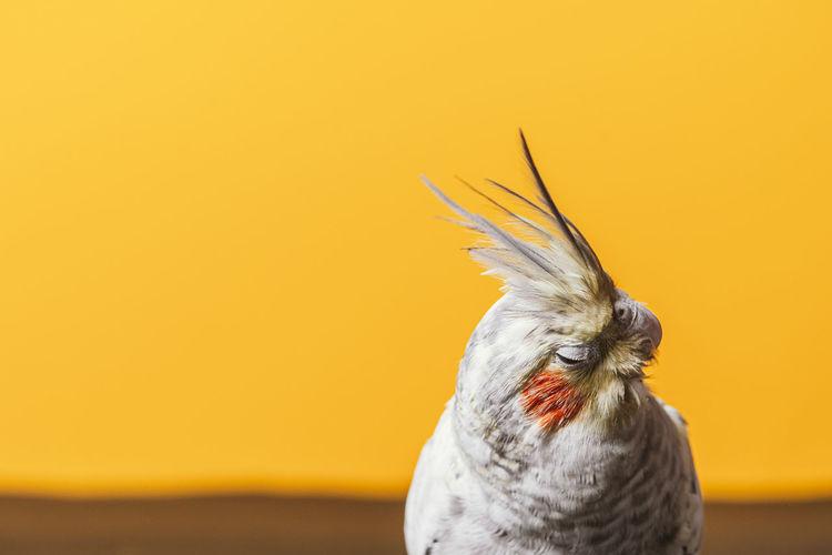 Female cockatiel close up on orange background