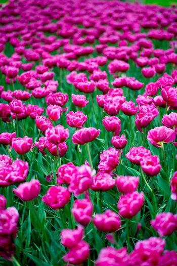 Full frame shot of pink flowers on field