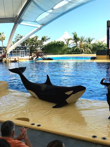 Orca Orcawal Wal Loro Parque Loropark Tenerife Teneriffa Nature Instagood Instagramer Good Times Goodday Perfect Perfectday Beautiful Nice Fish Sun Sunset Sunshine Instadaily Gayboy Instagay