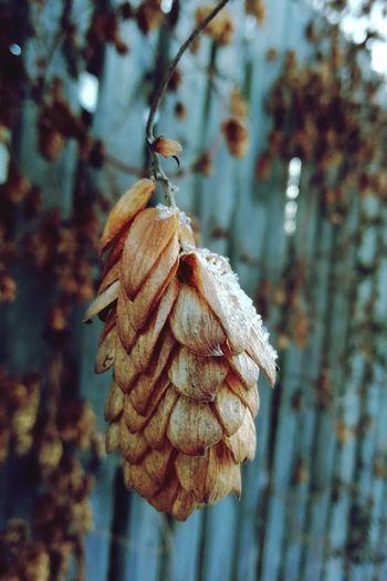 Flower Flower Head Close-up Plant Dried Plant Needle - Plant Part Wilted Plant Decline