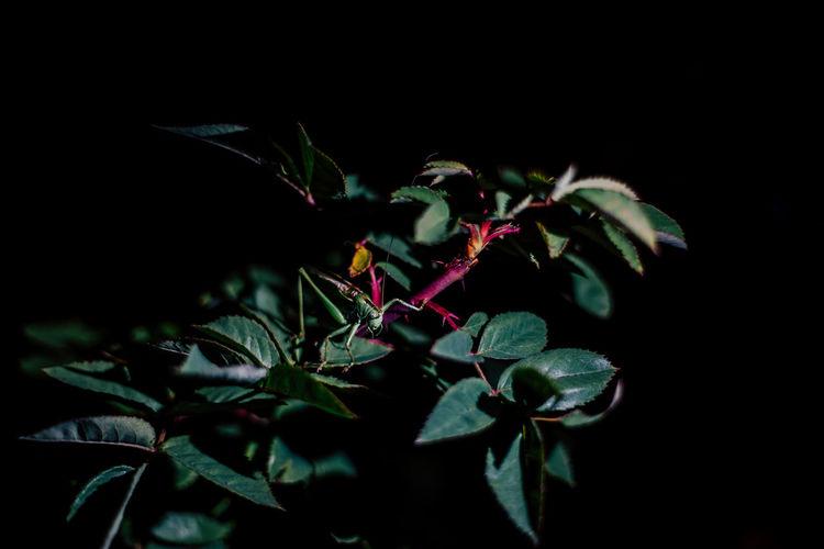 Nature Natural Closeup Background Garden Green Grasshopper Locust Beautiful Insect Plant Low Key Night Dark Background Dark Leaf Beauty Bright Animal Black Background Black Floral Hunting Tree Branch Bush