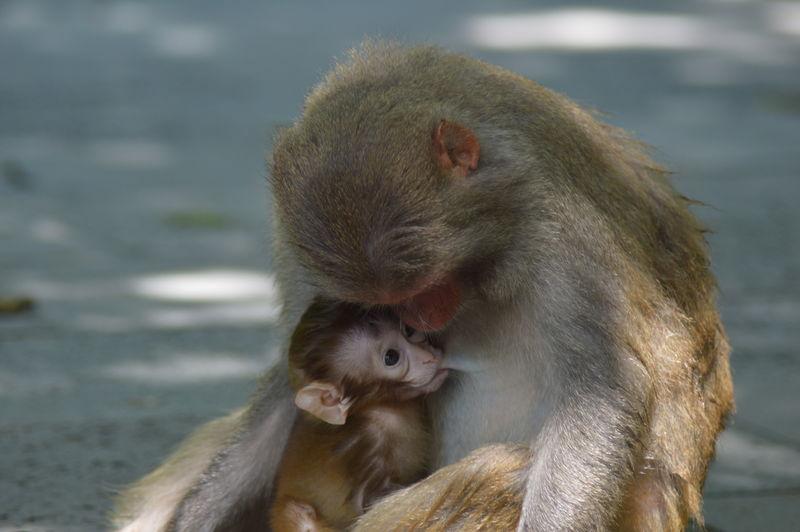 Brestfeeding Animal Themes Animals In The Wild Babycare Mammal Monkey Monkeyisland Mothercare