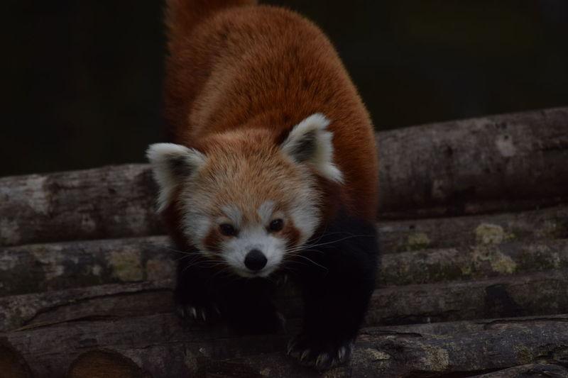 Paris Animal Photography Panda Roux Jardindesplantes