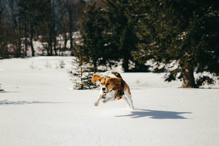 Beagle dog running in the snow Animals Dog Canine Pets Domestic Domestic Animals Cold Temperature Animal Themes Animal Snow Nature Winter Day Running Tree Sunlight Beagle Beaglelovers Beagles  Dogs Of EyeEm Dogs Runner Shadow Happiness Hunting