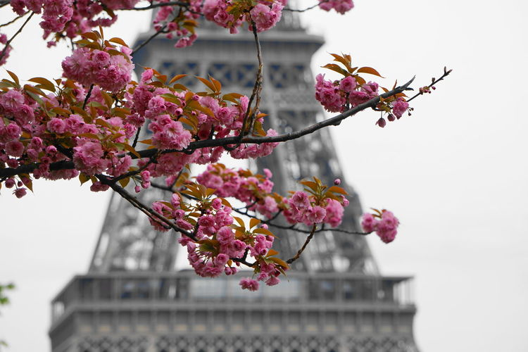 Close-up of pink blossoms against eiffel tower in city