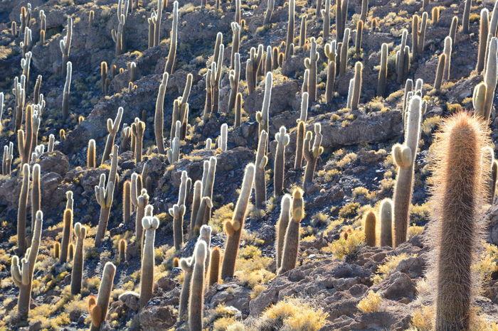 Cactus at Isla Incahuasi. Salar de Uyuni. Bolivia Altitude Andes Arid Beauty In Nature Bolivia Cactus Cactus Garden Desert Deserts Around The World Incahuasi Isla Incahuasi Landscape Nature No People Outdoors Saguaro Cactus Salar De Tunupa Salar De Uyuni Salt Flat Uyuni Uyuni Salt Flat Wilderness Area