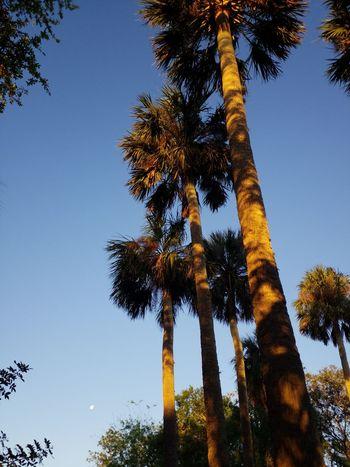 Palms and Moon Sun Up Palm Yellow Light Golden Light Sky Palms Tree