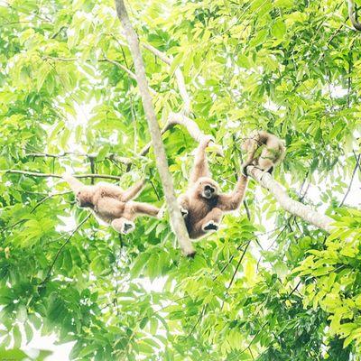 ชะนีมือขาว Gibbons : Hylobatidae Vscocam Wild Wildlifeplanet Wildlife Wildlifephotography Cute Animals Thailand Amzthld Igersth Nikonnofilter Nikonphotography Gibbon