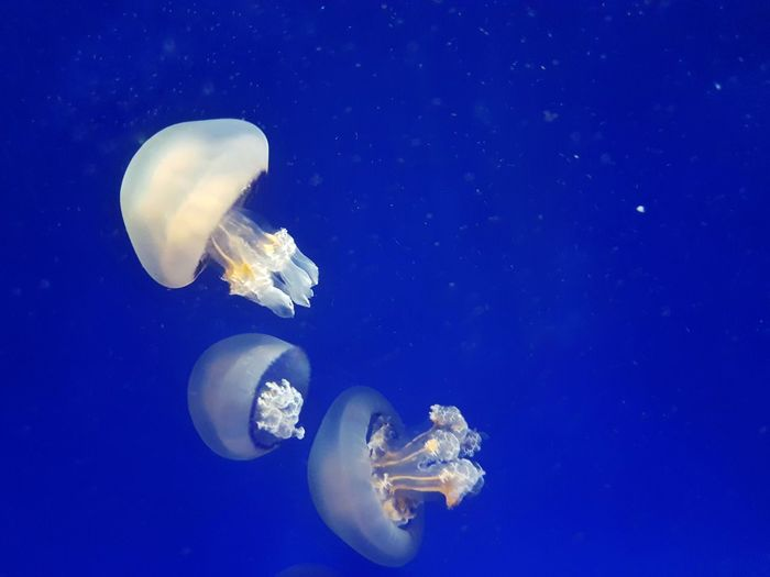 UnderSea Sea Life Swimming Galaxy Water Underwater Jellyfish Blue Sea Tentacle Invertebrate Floating In Water Group Of Animals Blue Background Wild Animal My Best Photo