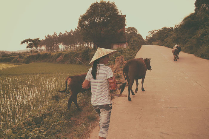 China Cows Freerange Country Girl Country Life Farming Rice Field Chinese Hat Hot Summer Grazing Cattle Herding The Simple Life Hunan Province, China Tranquil Scene Outdoors Lifestyles