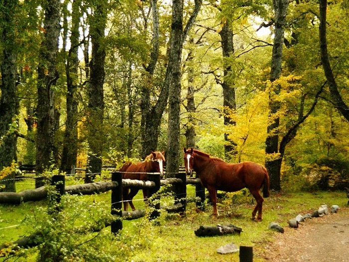 Brown Horses On Grassy Field Against Trees