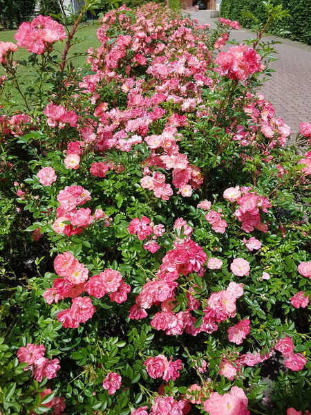Flower Day Outdoors High Angle View Pink Color No People Nature Beauty In Nature Abundance Growth Plant Freshness Fragility Close-up Ladyphotographerofthemonth Roses In Full Bloom Roses Are Pink Blooming Season Flower Power In Full Bloom Blooming Bushes Rose Bushes Rose Hedge In Full Blossom Beauty In Nature EyeEm Selects