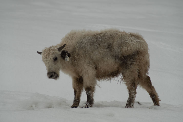 Sheep standing on snow covered land