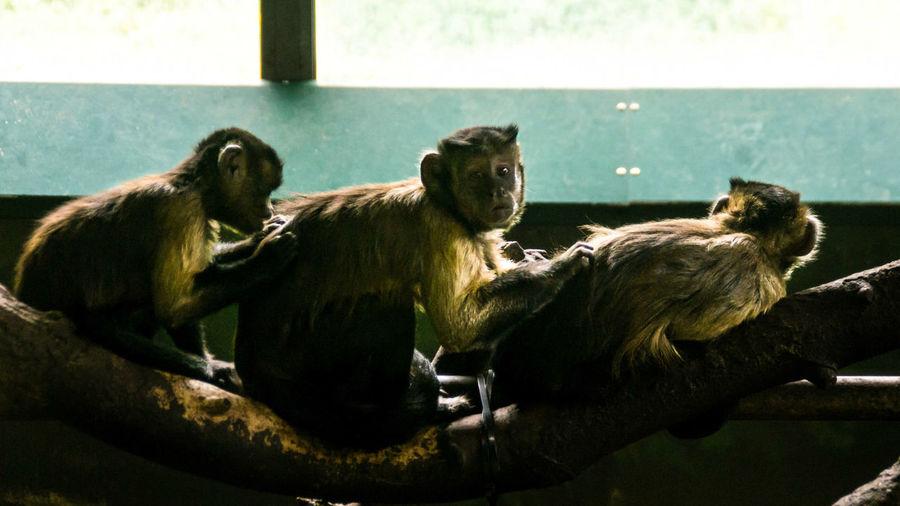 Monkeys sitting on branch in zoo
