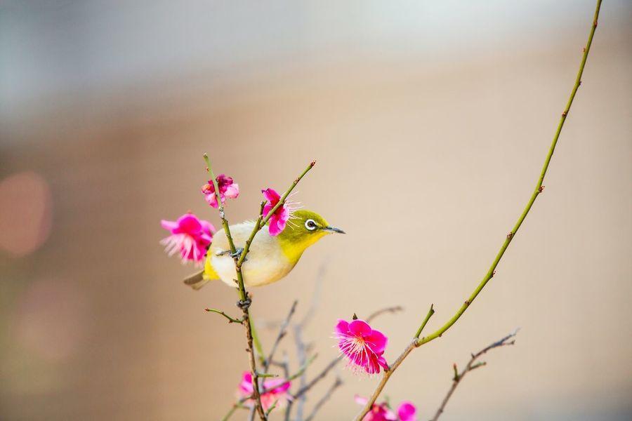 Bird Mejiro Japanese White-eye Ume Ume Tree Blossom Blossoming  Bokeh Japonism Canon5Dmk3