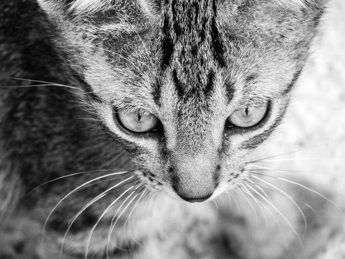 © www.rodiphotography.com Cat Blackandwhite Leopard Whisker Animal Eye Yellow Eyes Animal Head  Lemur Bird Of Prey Animal Ear Cat Owl Animal Mouth HEAD Big Cat Eye Snout Animal Body Part Animal Nose Animal Tongue