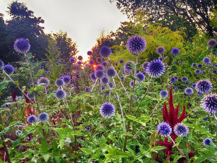 Colors HDR Romantic Beauty Blossom Dusk Envrionment Evening Field Flower Flower Head Flowerbed Flowering Plant Garden Idyllic Inflorescence Land Nature Petal Plant Purple Sky Summer Sun Sunset