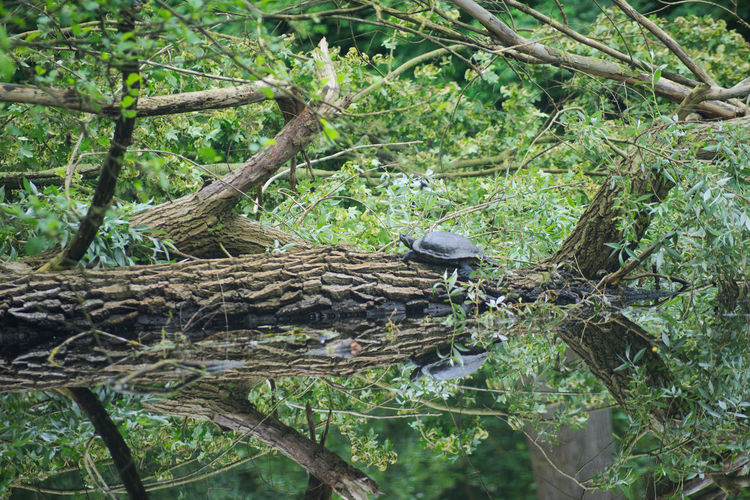 Green Growth Pond Reflection Relaxing Swimming Tree Trunk Turtles Animal Themes Animal Wildlife Animals In The Wild Beauty In Nature Branch Cooter Day Growth Nature No People One Animal Outdoor Photography Outdoors Perching Tree Turtle Water