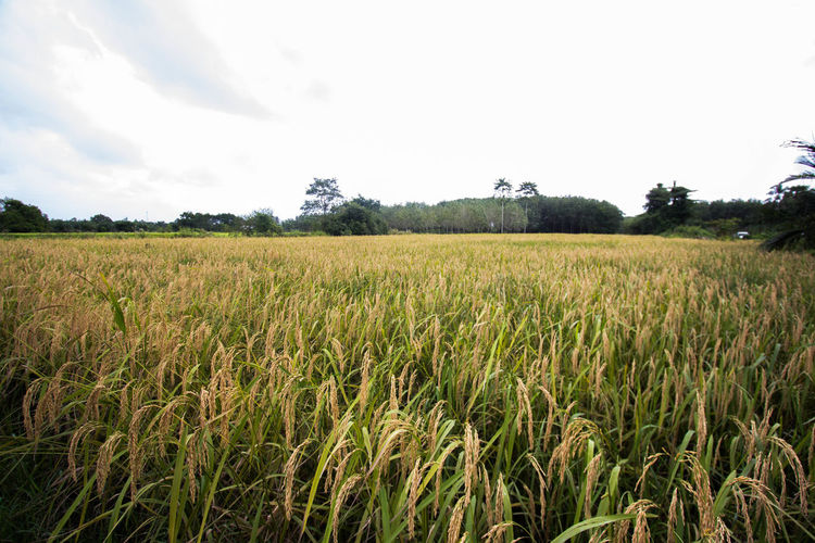 Agriculture Beauty In Nature Cereal Plant Day Farm Field Growth Landscape Nature No People Outdoors Rice Rice Paddy Rural Scene Scenics Sky Tranquil Scene Tree