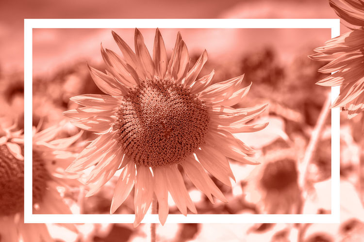 Field Sunflower