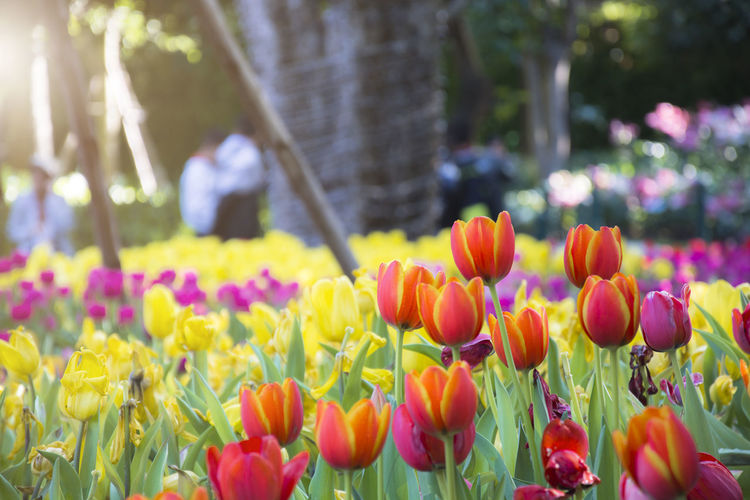 Orange-yellow tulips in the colorful tulips garden and bokeh background with sunlight Flowering Plant Flower Plant Freshness Vulnerability  Fragility Beauty In Nature Tulip Growth Petal Nature Park Purple Flowerbed Springtime Inflorescence No People Outdoors Garden Blooming Nature