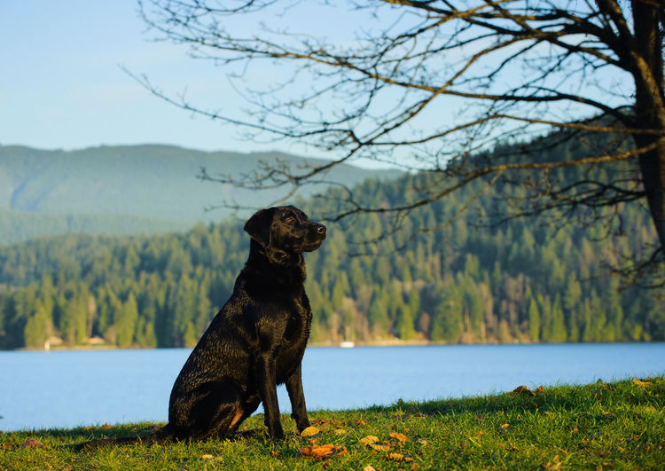 Black labrador sitting by river against mountains