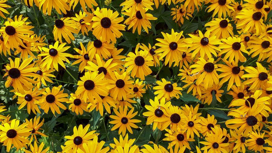 Full frame shot of yellow daisy flowers