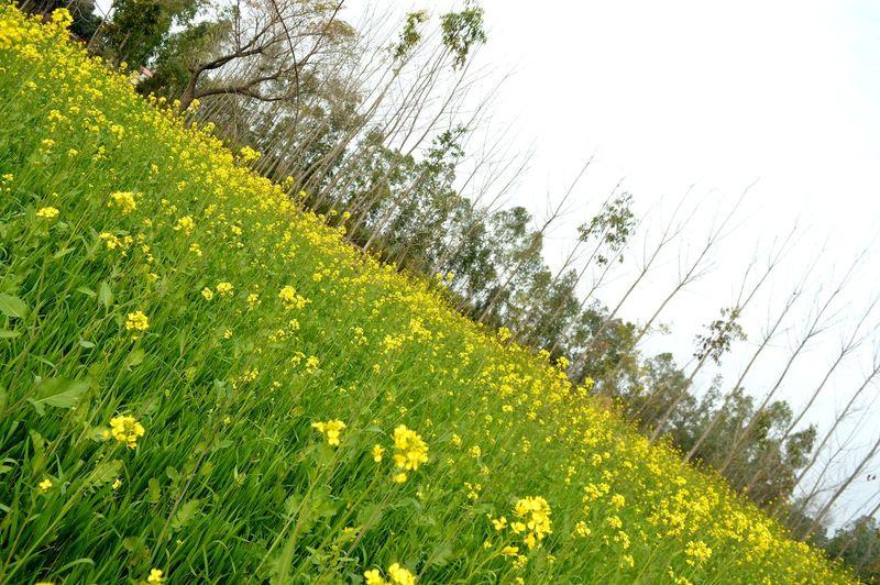 A mustard crop