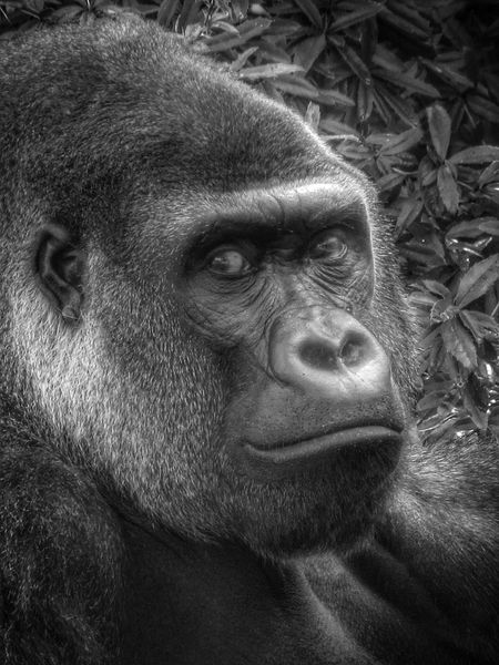Silverback Gorilla Close-Up Black and White - Close up crop of a shot of a silverback gorilla. Taken in Disney's Animal Kingdom at the Walt Disney world Resort near Orlando, Florida. Animal Animal Kingdom Ape Disney Disney's Animal Kingdom Florida Gorilla Monkey Nature Orlando Orlando Florida Park Silverback Silverback Gorilla Walt Disney World Wildlife Zoo