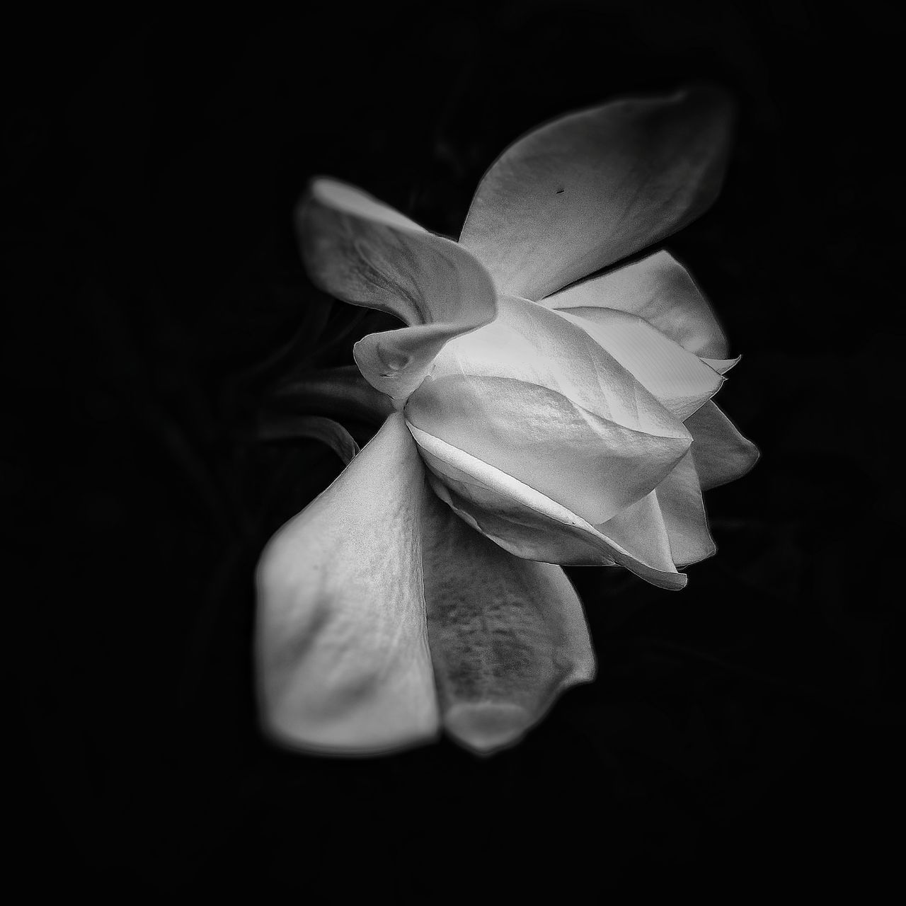 CLOSE-UP OF WHITE ROSE OVER BLACK BACKGROUND