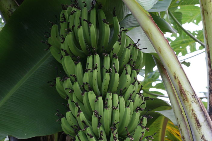 Abundance Agriculture Banana Bunch Banana Tree Bananas Beauty In Nature Green Green Bananas Growing Nature Plant Tropical Fruits Tropical Plants