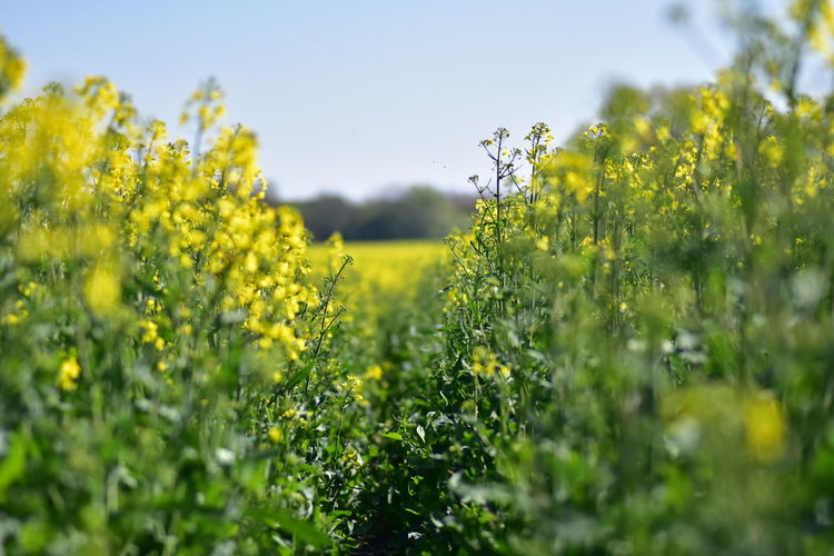 Plant Growth Flower Yellow Field Selective Focus Flowering Plant Beauty In Nature Land Agriculture Freshness Nature Fragility Landscape Rural Scene Farm Green Color No People Outdoors Springtime
