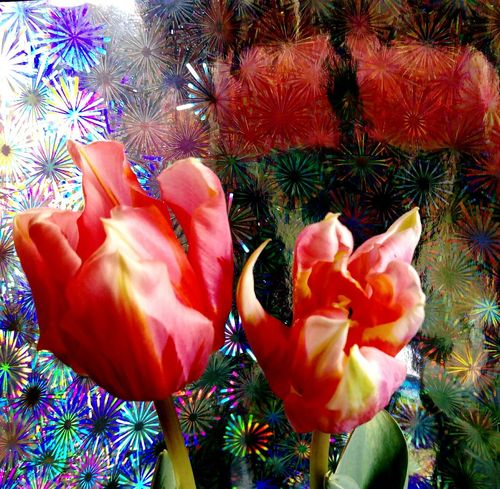 Real Photography Artistic Photography No People StillLifePhotography Nature_collection Indoors  Tulpe Im Licht Tulpenblüte Verblühte Tulpen Flower Collection Beyond Beautiful Tulips🌷 Reflection_collection Indoors  Red Flowers Closeup Colorful Background Red Tulips Up Close Red Color Vitality Powerful