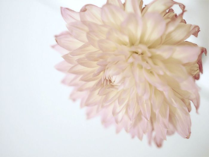 Flower Collection Flower Photography Daria Flower Petal Flower Head Close-up White Background Indoors