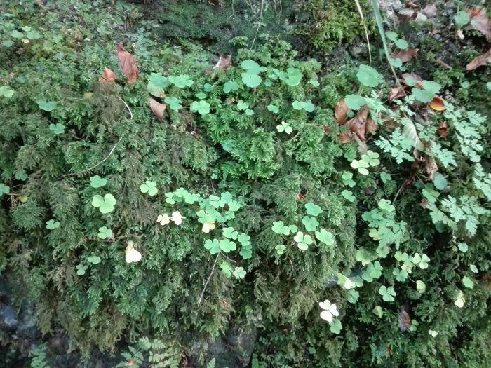 Kleeblatt Leaf
