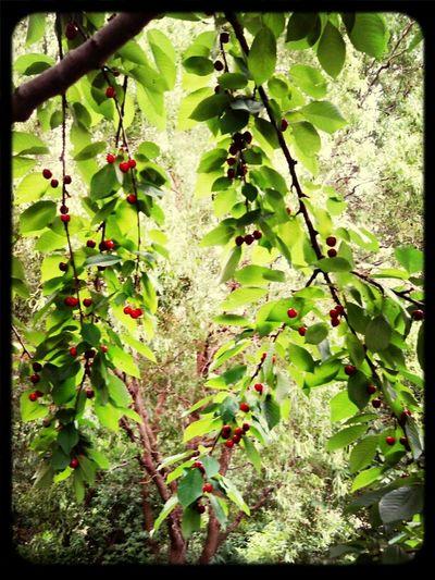 die suessesten Kirschen hängen verdammt weit oben!