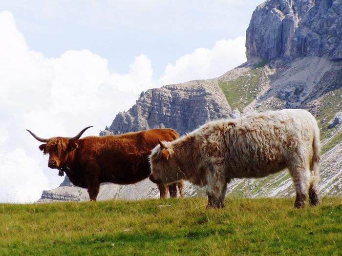 Alpin cows! Grass Mountains Alps Italy Alps Wildlife Animals In The Wild Animal Themes Animal Photography Tranquil Scene Tranquility Passo Delle Erbe American Bison Mountain Agriculture Oil Pump Rural Scene Cattle Cow Field Sky Grass Domestic Cattle Taurus Water Buffalo Domesticated Animal Tag Buffalo Herbivorous Ranch Horned Livestock