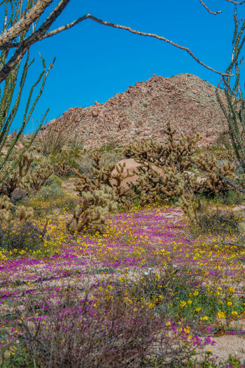 Anza Borrego Desert Flowers Plant Flower Sky Beauty In Nature Flowering Plant Nature No People Clear Sky Growth Land Day Tranquil Scene Tranquility Scenics - Nature Mountain Tree Landscape Blue Environment Purple Outdoors Anza Borrego