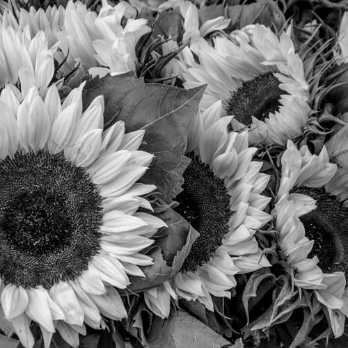 High angle view of sunflower blooming outdoors