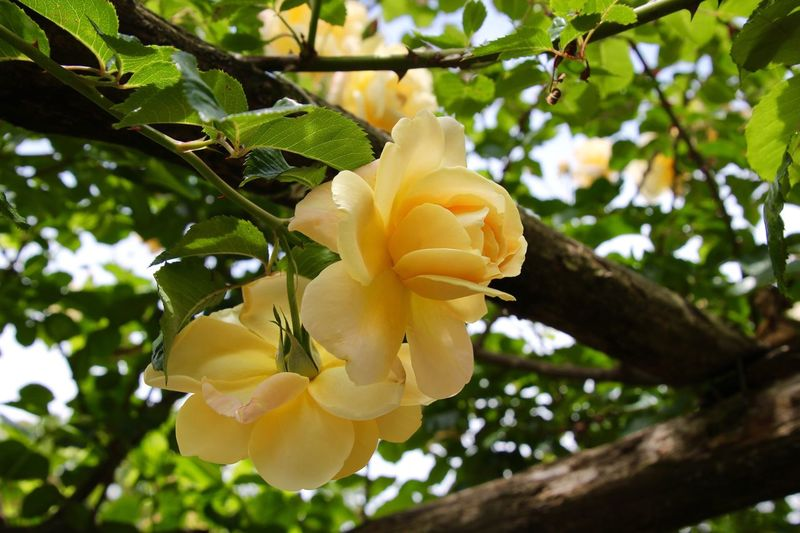 Beauty In Nature Growth Trees yellow flowers roses Outdoors Flower Fragility Flower Head Freshness greens No People