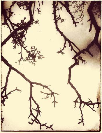 Tree Nature Photography Walnussbaum💫 Walnut Tree Walnuss Walnuttree Branches Treebranches Treebranch Shilouette Blackandwhite Blackandwhite Photography Black & White Springtime Spring