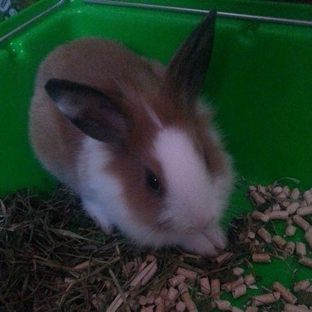 Filipka Juz Nie Má :( jest malutki speedy rabbit królik łatki słodziak uszka grzyweczka rogi ciemne oczka mały szatan witaj w domu @marikux33 ♥